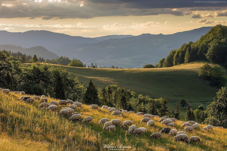Owce pasące się na Polanie pod Wysoką