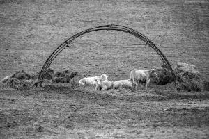 Krowy w Górach Lewockich