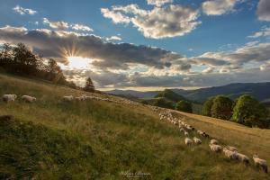 Stado owiec na Polanie pod Wysoką w Pieninach