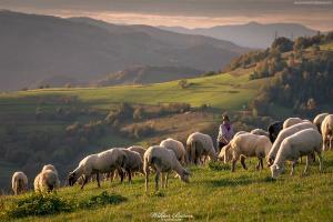 Wypas owiec w Łomnicy - Beskid Sądecki