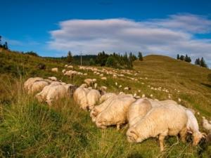 Owieczki w Dolinie Białej Wody