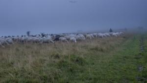 Owieczki w Pieninach